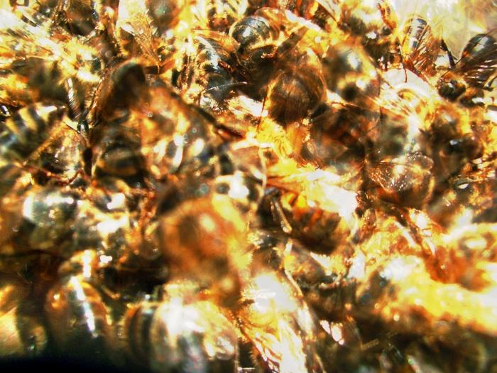 蜂, abeilles vision hdr